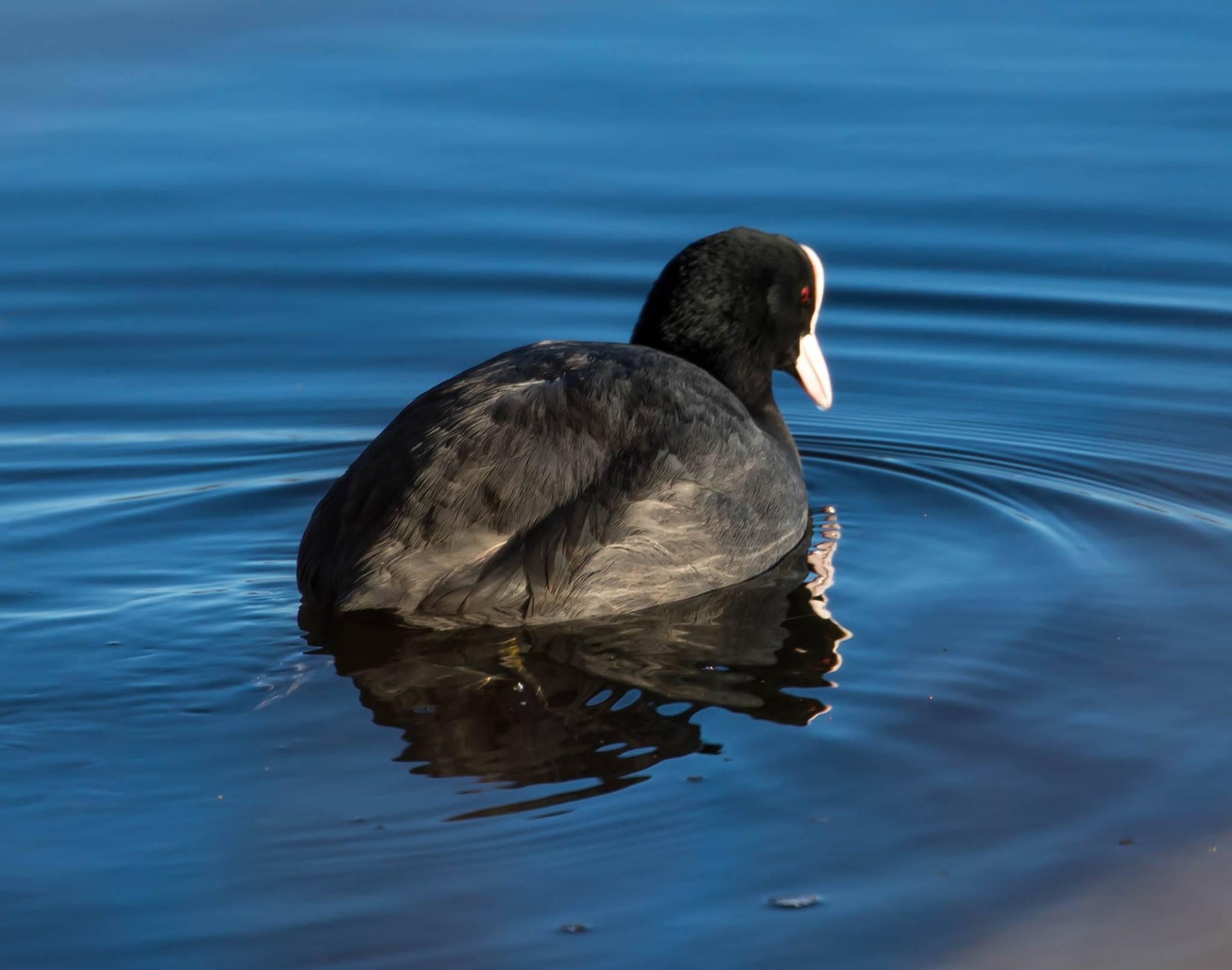 blishøne - Foto af John Kragenskjold