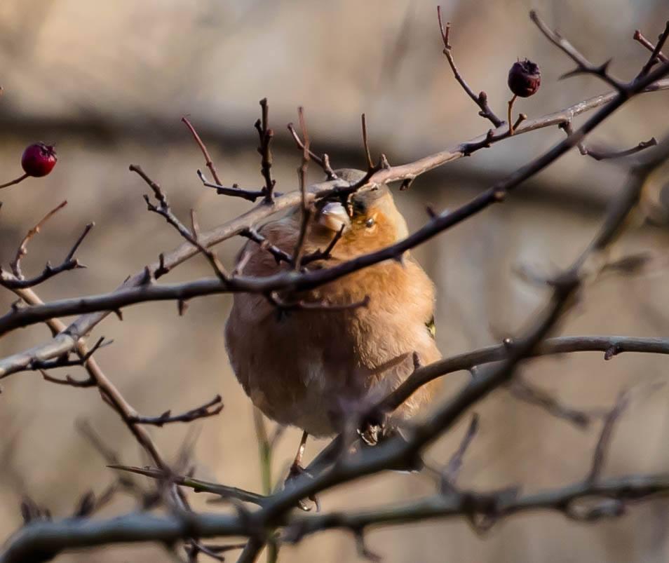 bogfinke - Foto af John Kragenskjold