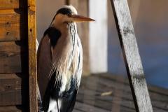 fiskehejre - Foto af John Kragenskjold