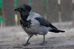 gråkrage - Foto af John Kragenskjold