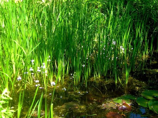 Flora i mosen (Bjørnekloen)
