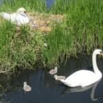 Hvor er der plads til svanerne? (juni 2015)