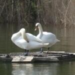 Tømmerflåder til fuglene (april - maj 2021)